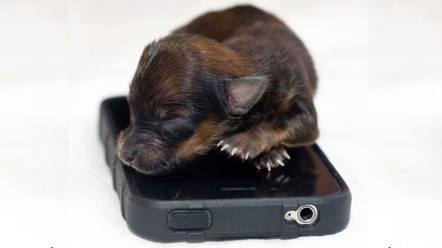 bnps_smallest_puppy_tiny_iphone_thg_120830_wg